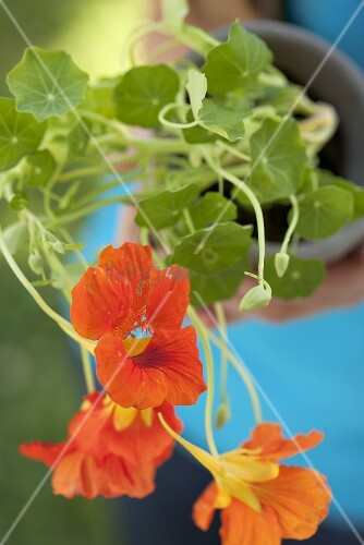 A person holding a pot of nasturtiums