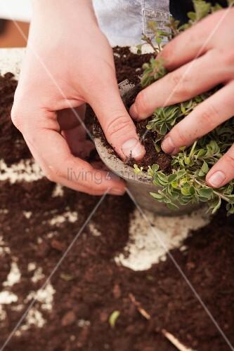 Oregano in Blumentopf einpflanzen