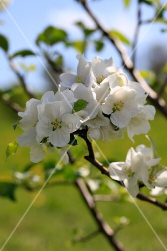 Close up of white apple blossom on an apple tree
