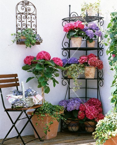 Lushly flowering purple and pink hydrangeas on delicate corner etagere