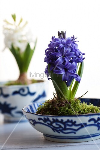 Hyacinths planted in bowls with moss