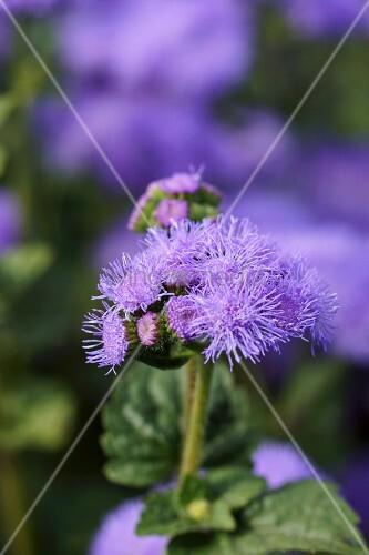 Blue flossflower in garden (close-up)