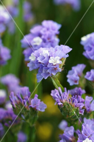 Sea lavender with lilac and white flowers in garden