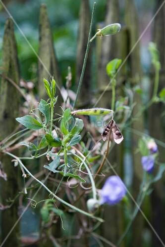 Erbsenpflanze mit Blüten & Schoten