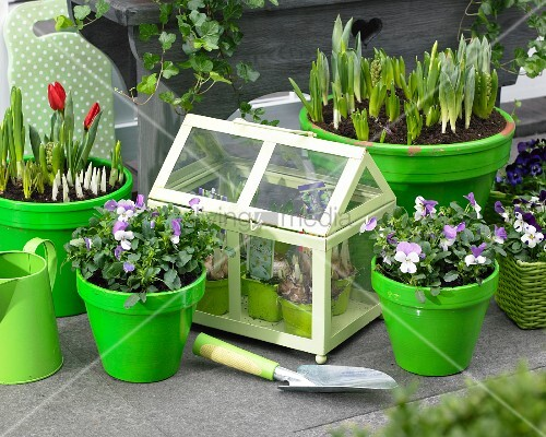 stiefm tterchen hyazinthen krokusse und tulpen in t pfen sowie ein kleines gew chshaus auf der. Black Bedroom Furniture Sets. Home Design Ideas