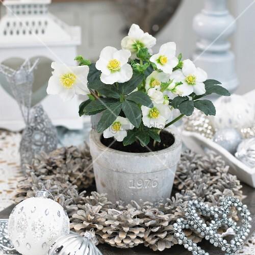 Weihnachtsdeko: Schneerosen im Blumentopf in einem Kranz aus weissen Pinienzapfen sowie Christbaumkugeln in Weiss und Silber