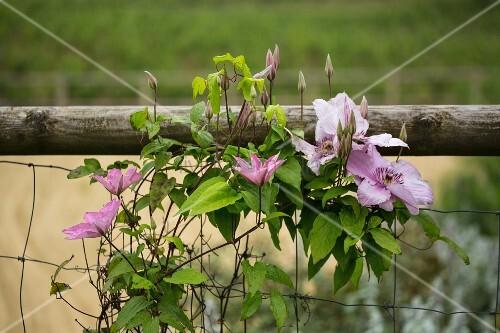 Blühende Clematis auf einem Drahtzaun im Garten
