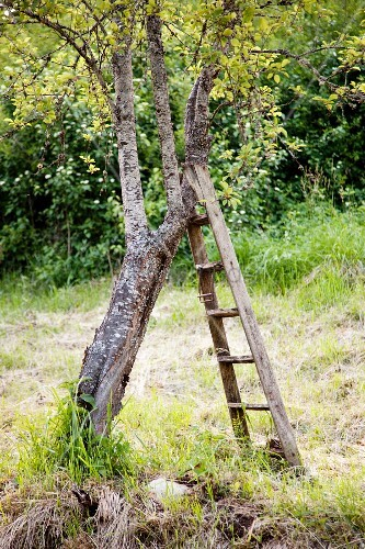 Ladder leaning on tree