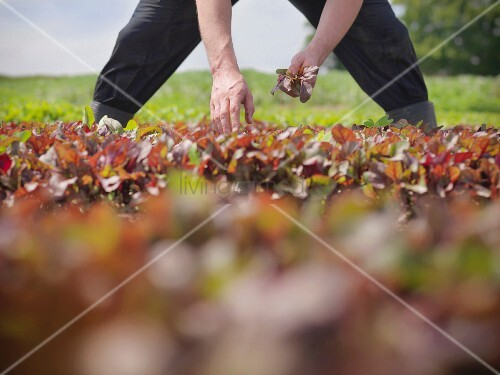 Worker picking salad crop