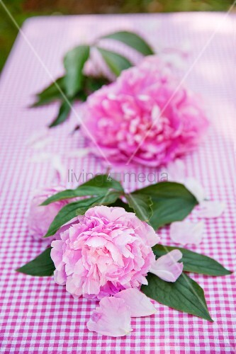 Two peony blooms with leaves on gingham tablecloth in garden