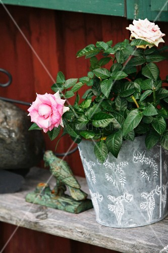 Rose in zinc pot on weathered wooden shelf