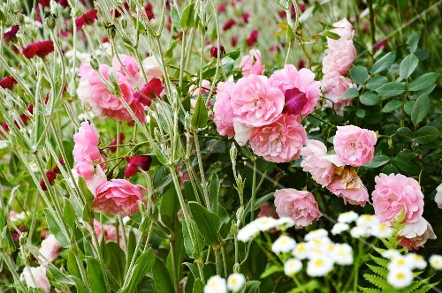 Roses, daisies and pinks in garden