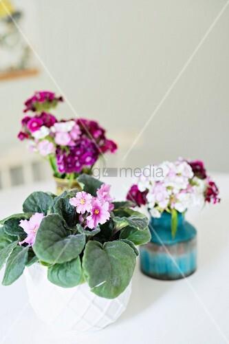 Potted African Violet And Sweet William In Retro Vases Bild Kaufen