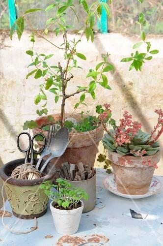 Vintage utensils and plants (lemon verbena, echeveria, basil seedlings) in terracotta pots