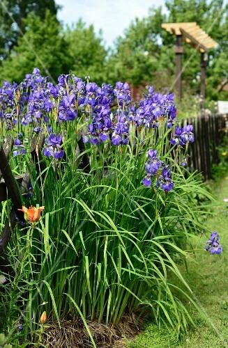 Iris an einem Gartenzaun