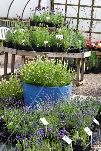 Blue-flowering and white-flowering lavender plants in black plastic plant pots and blue tub in nursery