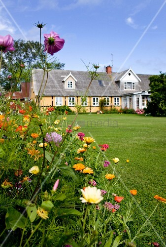 Cosmea and wild flowers next to neat lawn in large garden with house in background