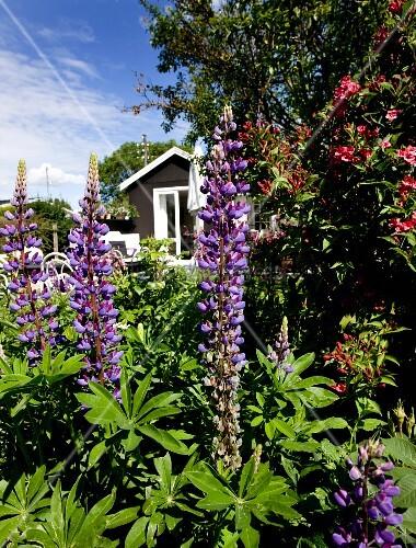Purple-flowering lupins in summery garden