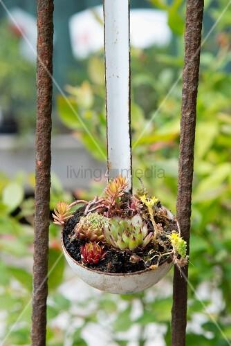 Succulents planted in vintage ladle