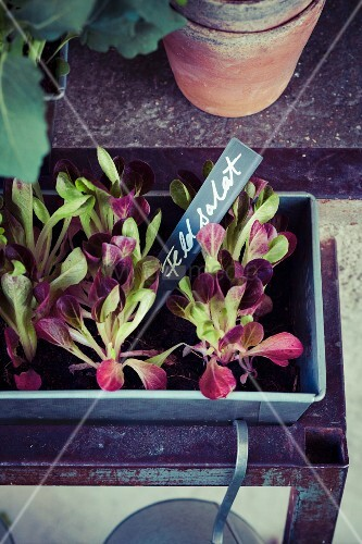 Lambs' lettuce in planting trough with plant label
