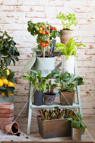 Gemüsepflanzen in Töpfen auf Trittleiter