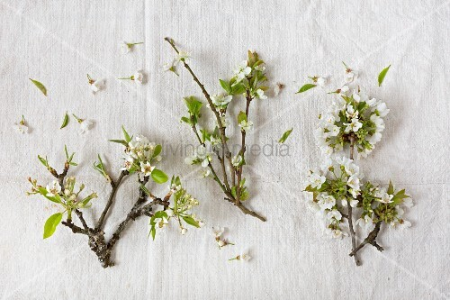 Branches of pear, damson and cherry blossom