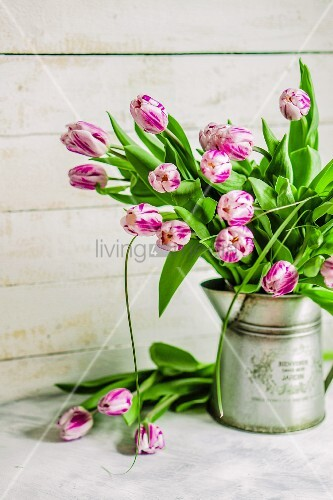 Pink and white tulips in metal jug