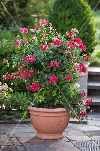 Red-flowering, ivy-leaf trailing geranium (Pelargonium peltatum) grown climbing up support