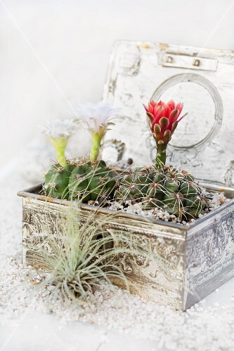 Two flowering cacti planted amongst gravel and soil in small tin