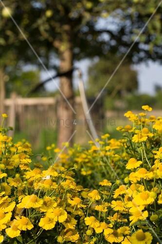 Yellow-flowering ox-eye chamomile in cottage garden