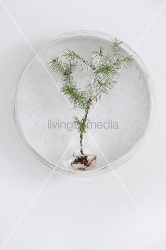 Fir tree seedling in glass vase in white wicker basket hung on wall