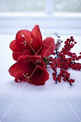 A sprig of holly berries and a red amarillis flower