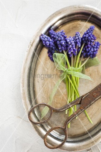 Posy of grape hyacinths and vintage scissors on silver tray