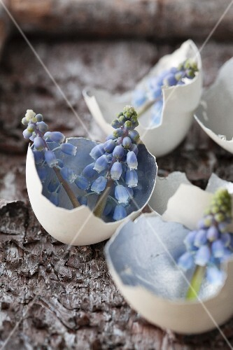 Grape hyacinths in egg shells with insides painted silver