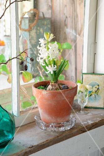 Tontopf mit weißer Hyazinthe auf Vintage Fensterbrett in ländlichem Ambiente