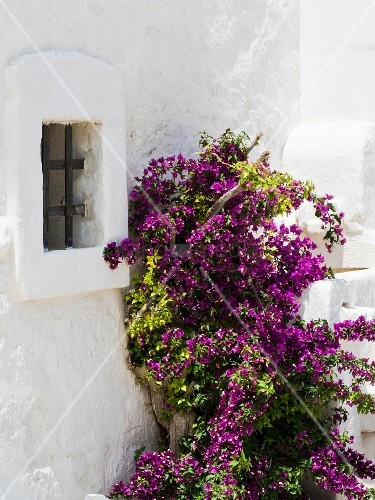 Flowering bougainvillea against whitewashed façade of restored Italian holiday home