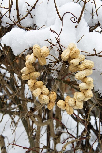 Wreath of peanuts hung on snowy leafless beech hedge