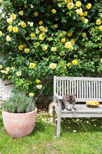 Cat sitting on wooden bench in front of yellow rose bush climbing up exterior wall of house