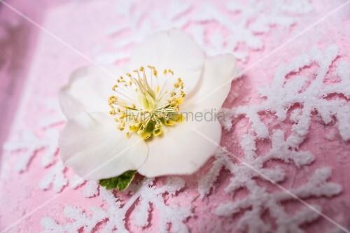 Hellebore flower on top of ornamental snowflake motif