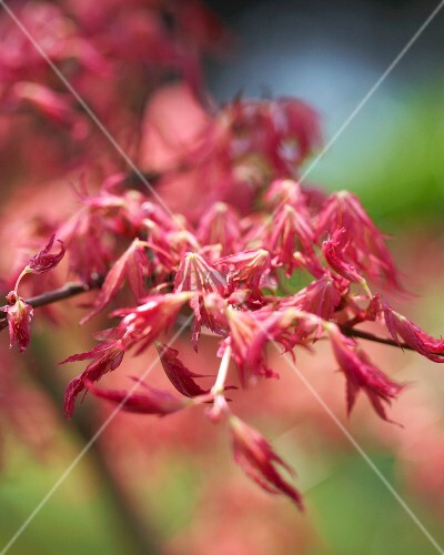 Read Japanese maple (acer palmatum rube)