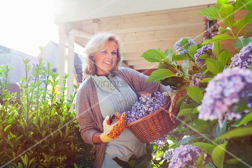 Woman cutting hydrangeas with secateurs