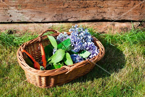 Blue hydrangeas and secateurs in wicker basket on lawn