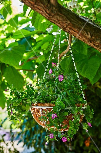 Blumenampel mit pinken Petunien hängt im Baum