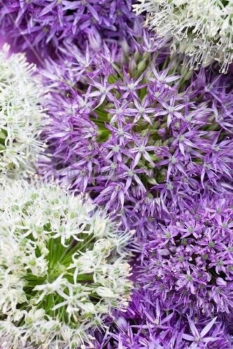 White and purple allium flowers