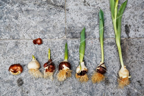 Development of a tulip from bulb to plant