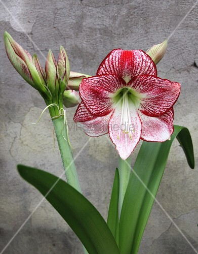 Flowering amaryllis of variety 'Flamenco queen'