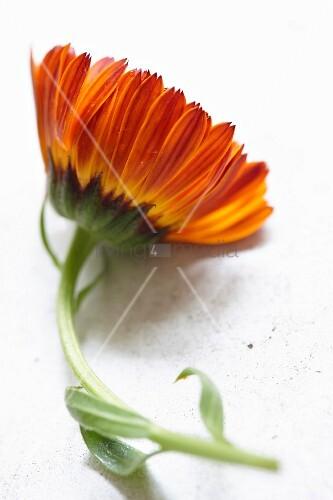 Eine Ringelblume (Calendula Officinalis)