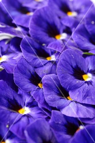 Blue pansies (full frame)
