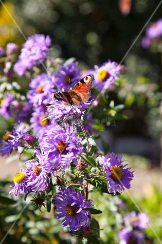 Butterfly on purple Michaelmas daisies
