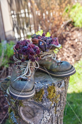 Succulents planted in old walking boots on tree stump